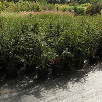 Boomkwekerij De Groene - Aarschot - Boom- en plantenkwekerij