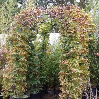 fagus  sylvatica  .groene  beuk    in     boogvorm   of  carpinus  haagbeuk  in boogvorm    in 60 literpot